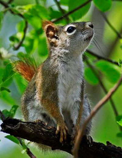 all about squirrels website red squirrel article